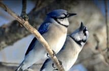 Blue Jay couple sitting side by side on a tree branch.