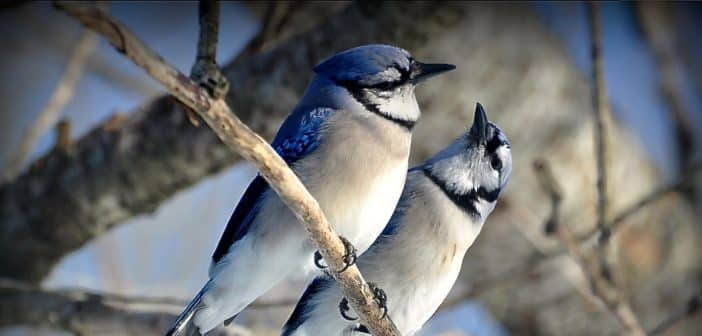 Why songbirds sing