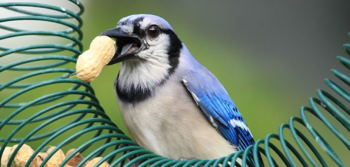 Blue Jay standing on a peanut feeder and holding peanut in its beak.