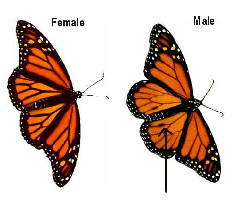 side by side comparison of male and female Monarch Butterflies. On the right is the male showing a black spot on each hind wing.