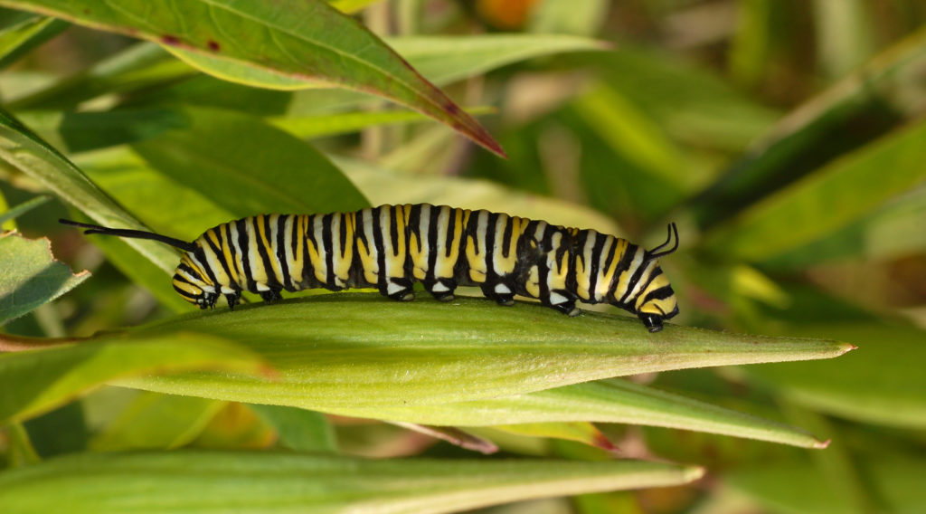 Monarch Butterfly larva in its 5th instar and ready to pupate; clinging to a green milkweed bud.
