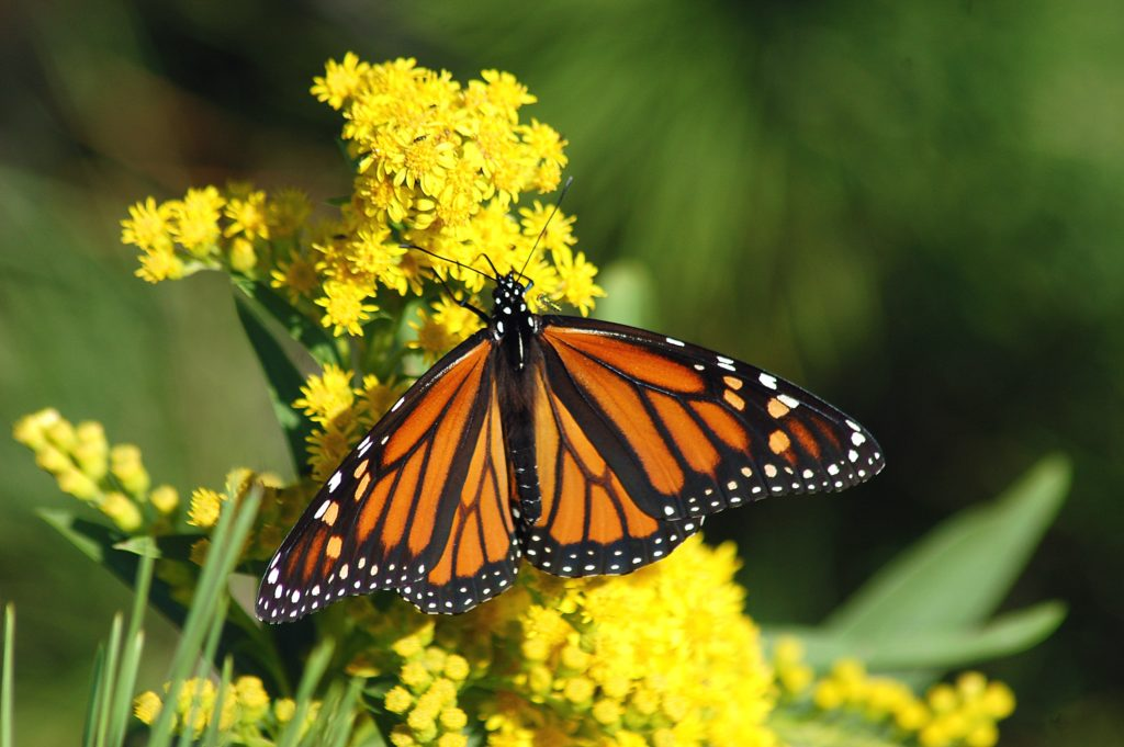 Monarch Butterfly female on yellow flowers.