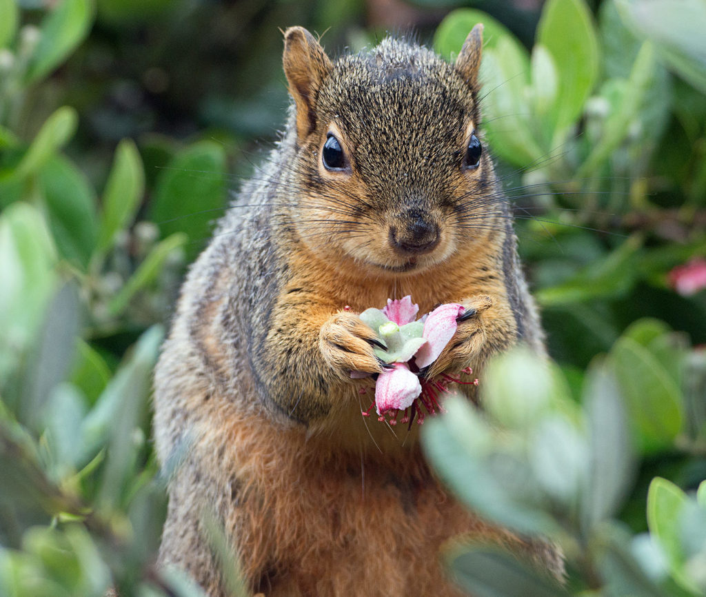 Fox Squirrel sitting on a tree branch and holding a pink blossom in its paws.