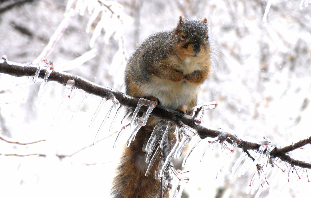 Fox Squirrel looking very fluffy in its heavy winter coat, sitting on an icy tree limb.