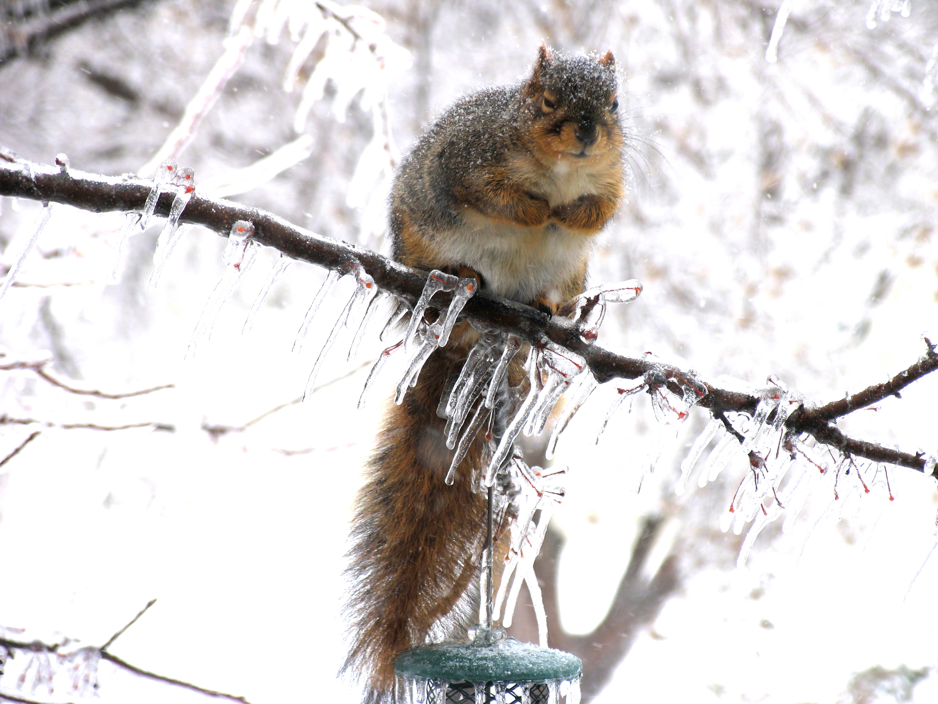 Awesome squirrels eating wires pictures inspiration wiring all about fox squirrels and gray squirrels welcome wildlife sciox Images