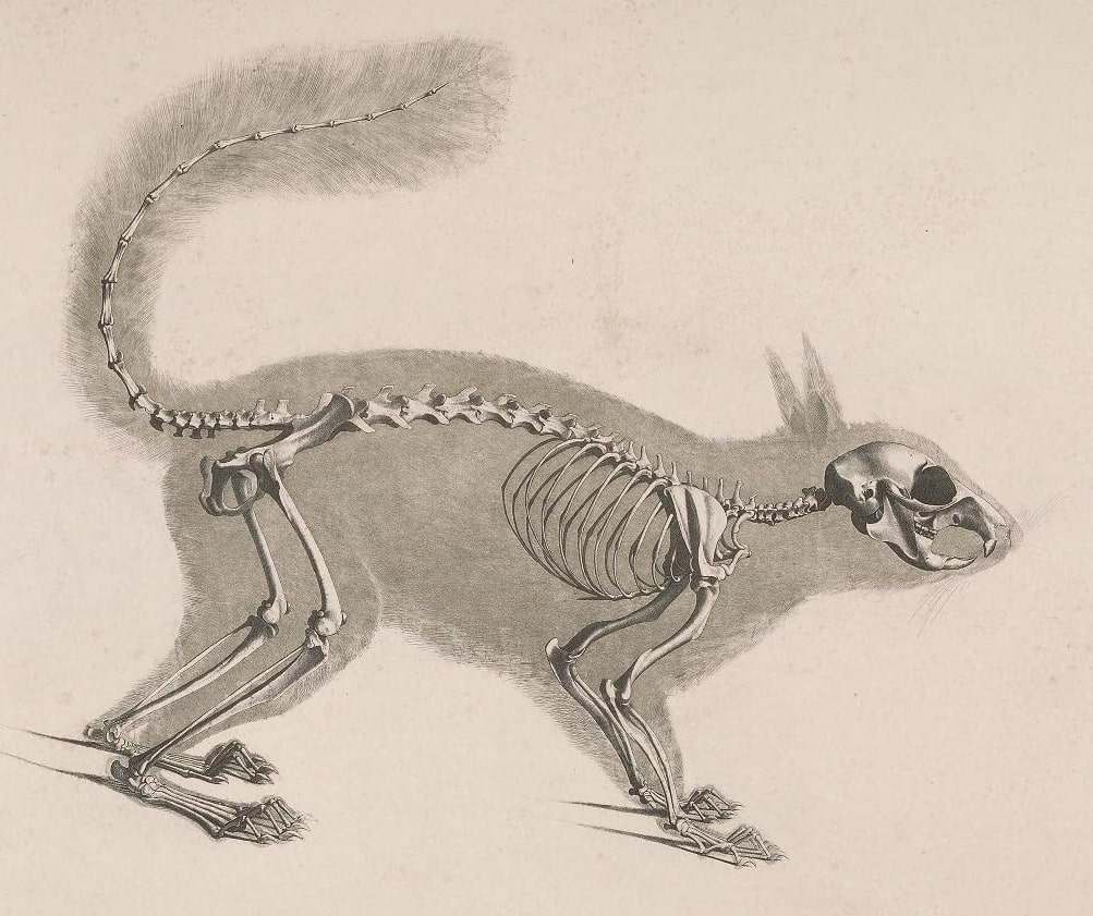 Drawing of a squirrel skeleton.