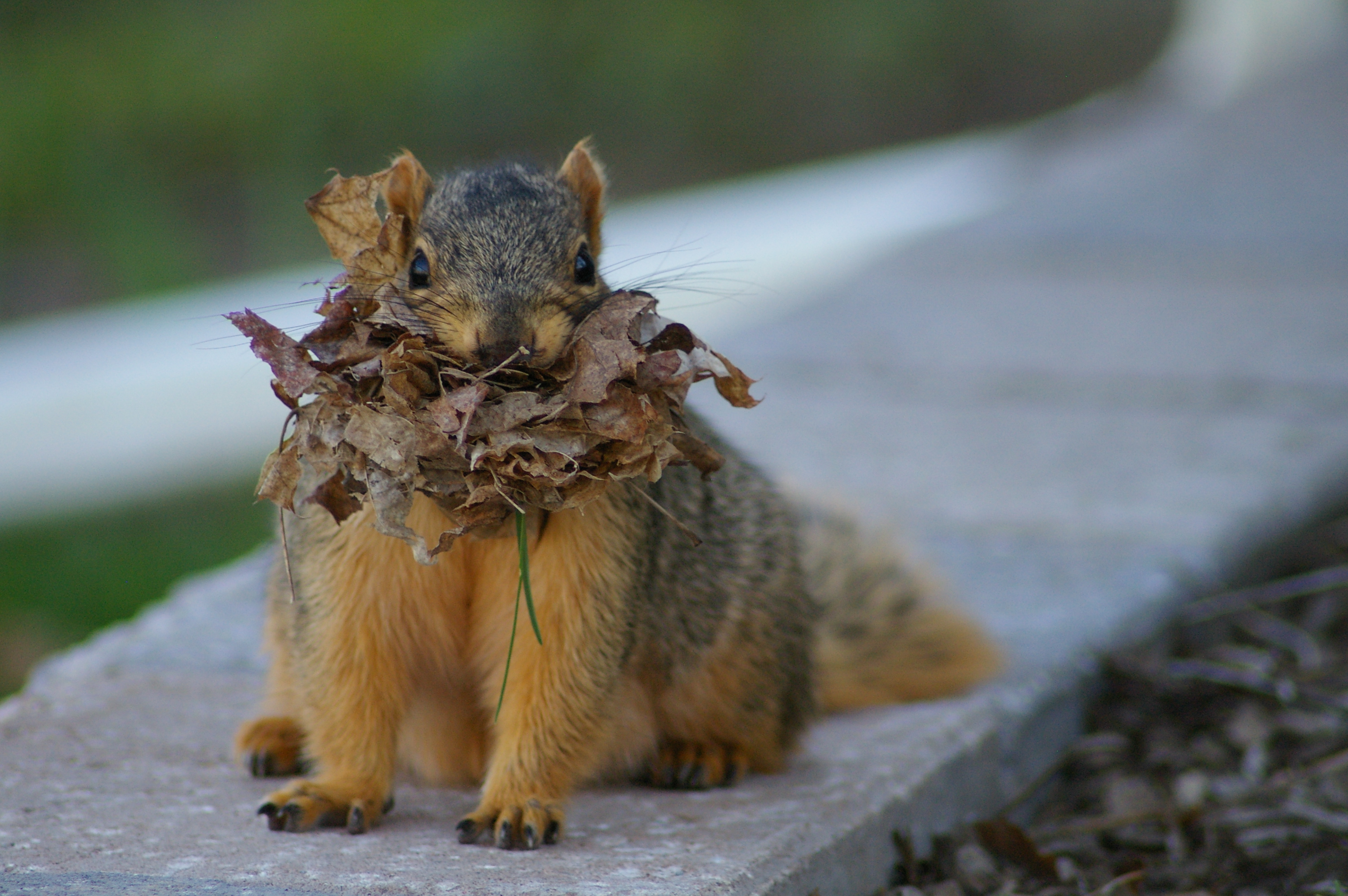 All About Fox Squirrels And Gray Squirrels Welcome Wildlife