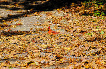 Northern Cardinal nearly hidden in fallen leaves