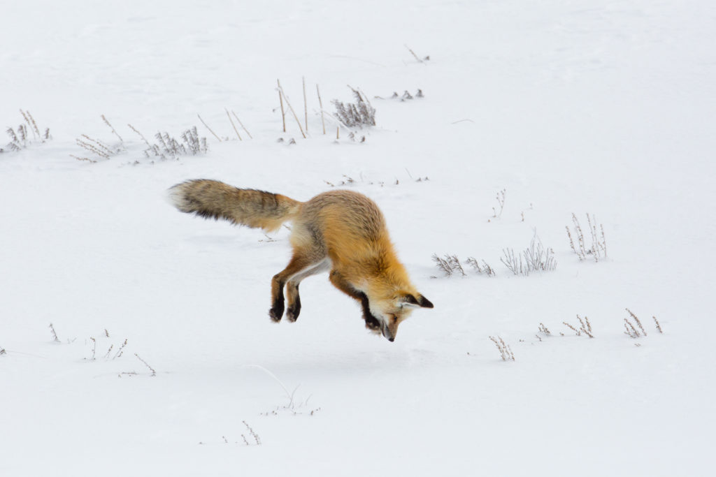 Red Fox pouncing into the snow for a prey