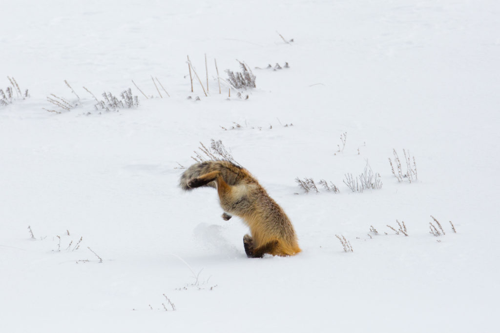 Red Fox pouncing on prey in the snow.
