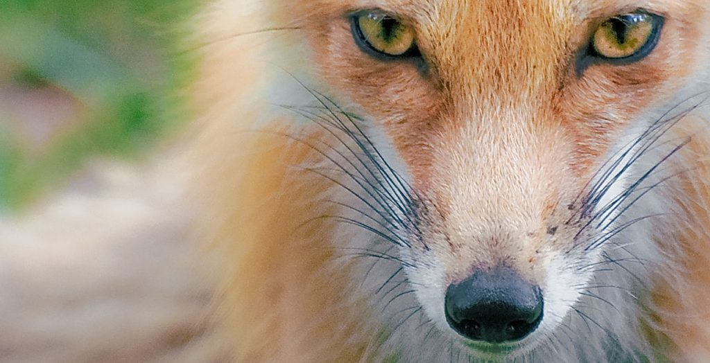 Close up of a Red Fox's face showing its vertical pupils.