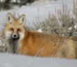 A Red Fox in winter coat facing the camera and standing partly behind a snow drift in Yellowstone National Park.