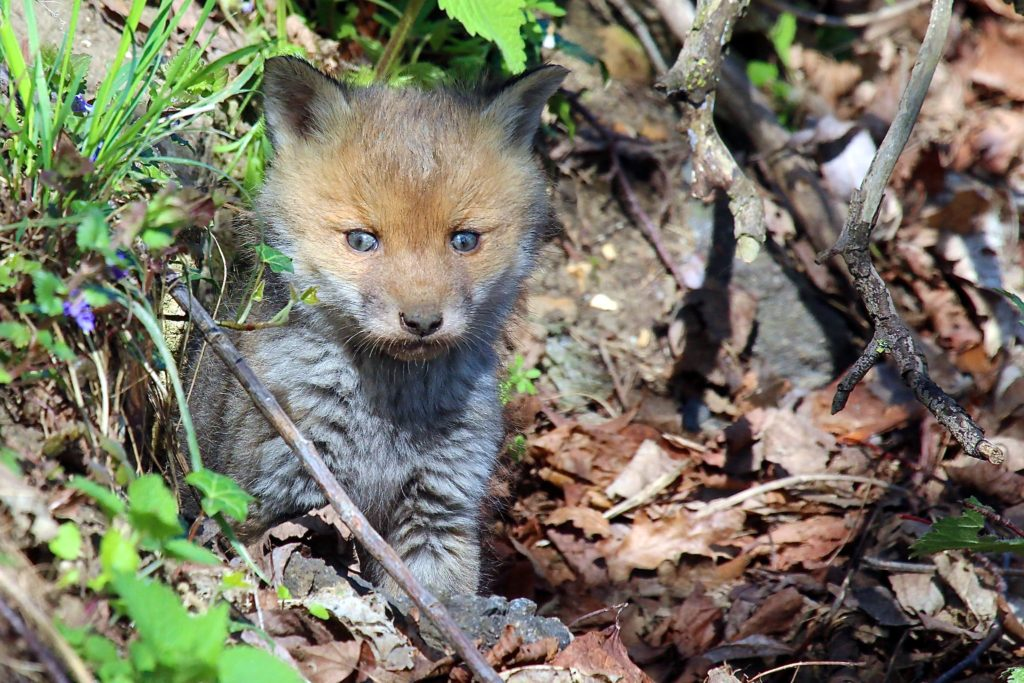A tiny, fuzzy Red Fox kit facing the camera and standing on the ground near a leafy greenery.