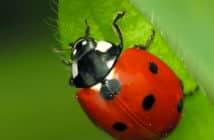 Seven-spotted-Lady Beetle, Coccinella septempunctata. is red with a black pronoun and seven spots on elytra.