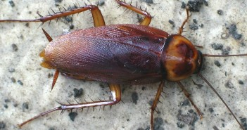 American Cockroach, Periplaneta americana, lying on rock-like surface