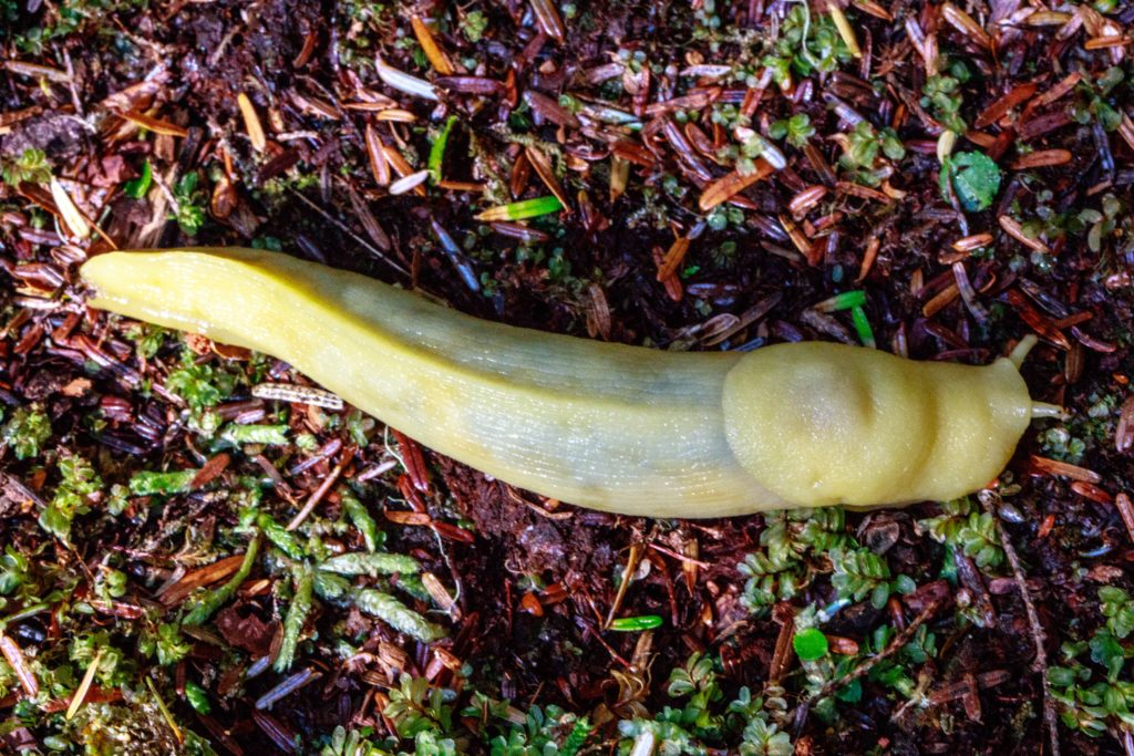 Banana Slug, Ariolimax columbianus, on the ground.