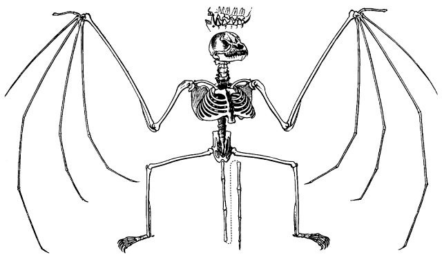 "Illustration of a bat's skeleton from the book ""Brehms Tierleben,"" 1887."