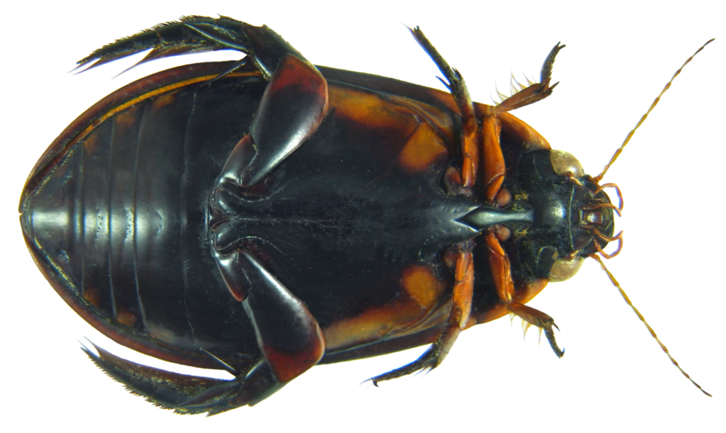 Underside of a black beetle showing attachment of legs to the thorax.