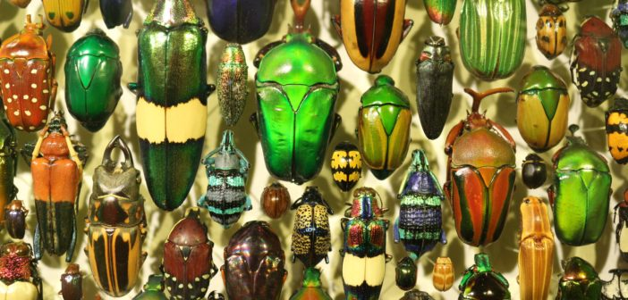 Image of a collection of many colorful beetles.