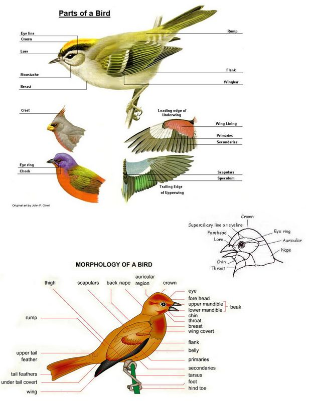 Bird Body Parts : All about birds welcome wildlife
