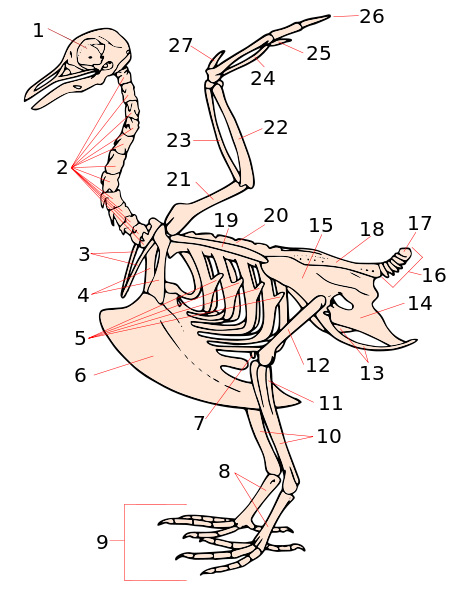 Drawing of a complete bird skeleton with numbered arrows pointing to different body parts.