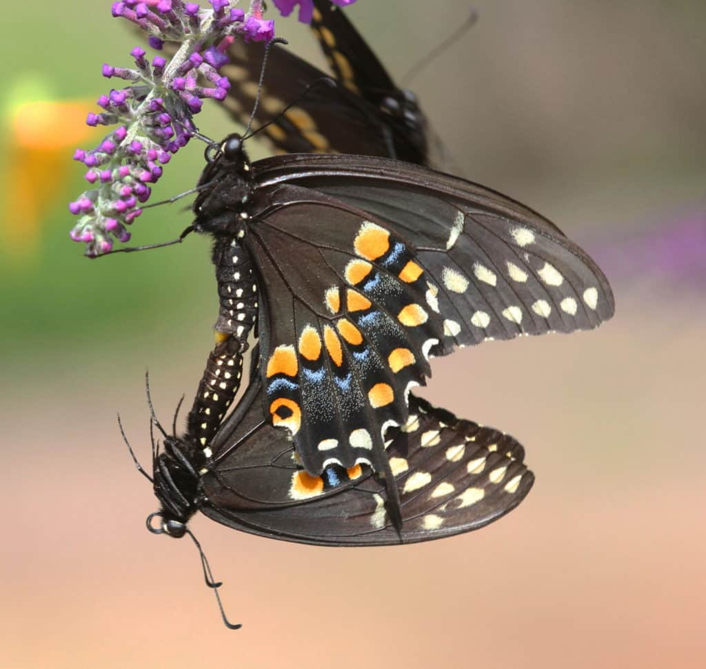 Black Swallowtail male and female mating while clinging to a flower.