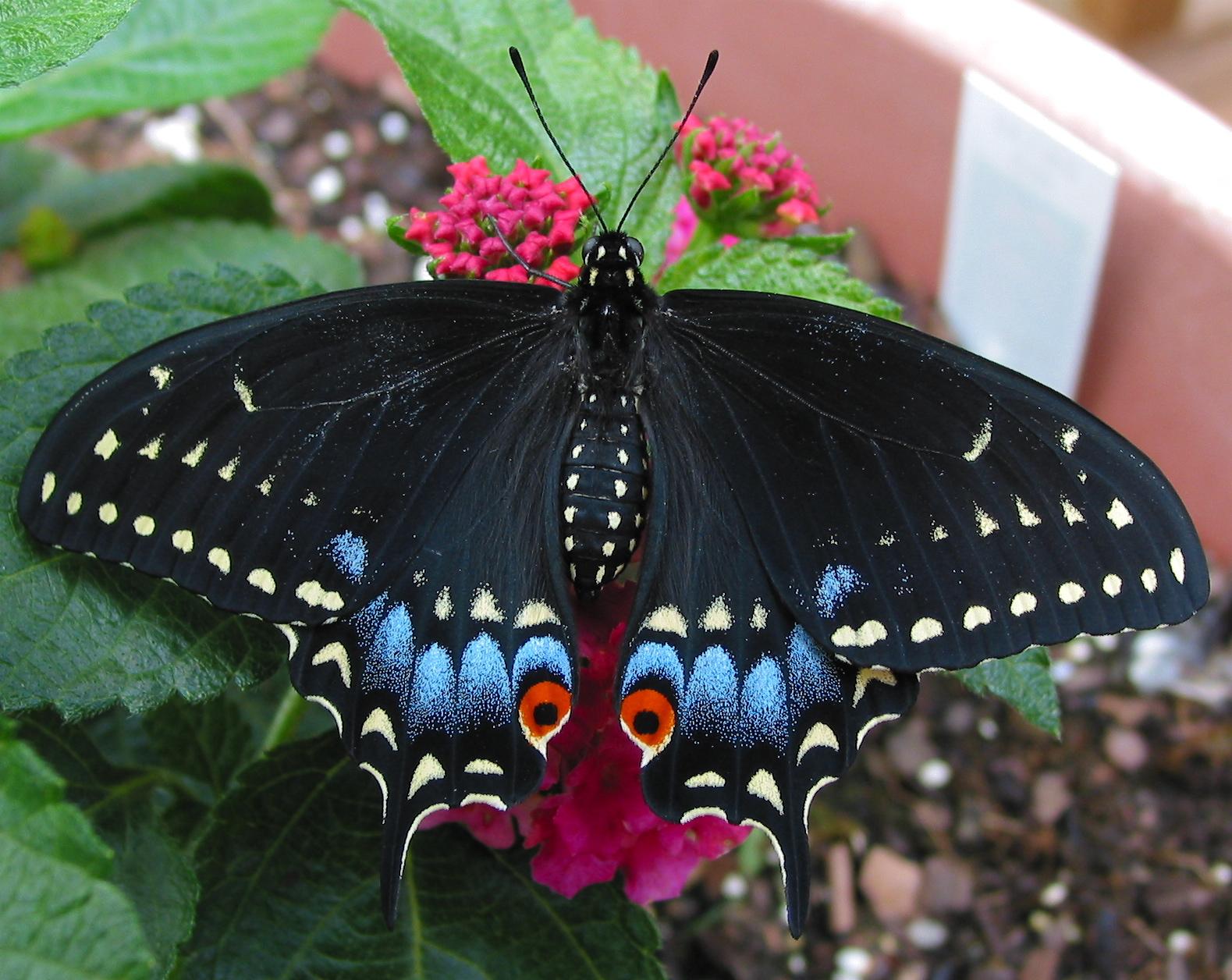 Black swallowtail Papilio polyxenes.. (WW)