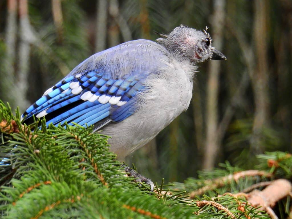 Side view of a bald Blue Jay standing on greenery.