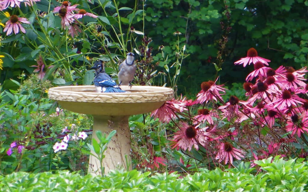 Birdbath with two Blue Jays; one is bathing and the other is perched on the edge.