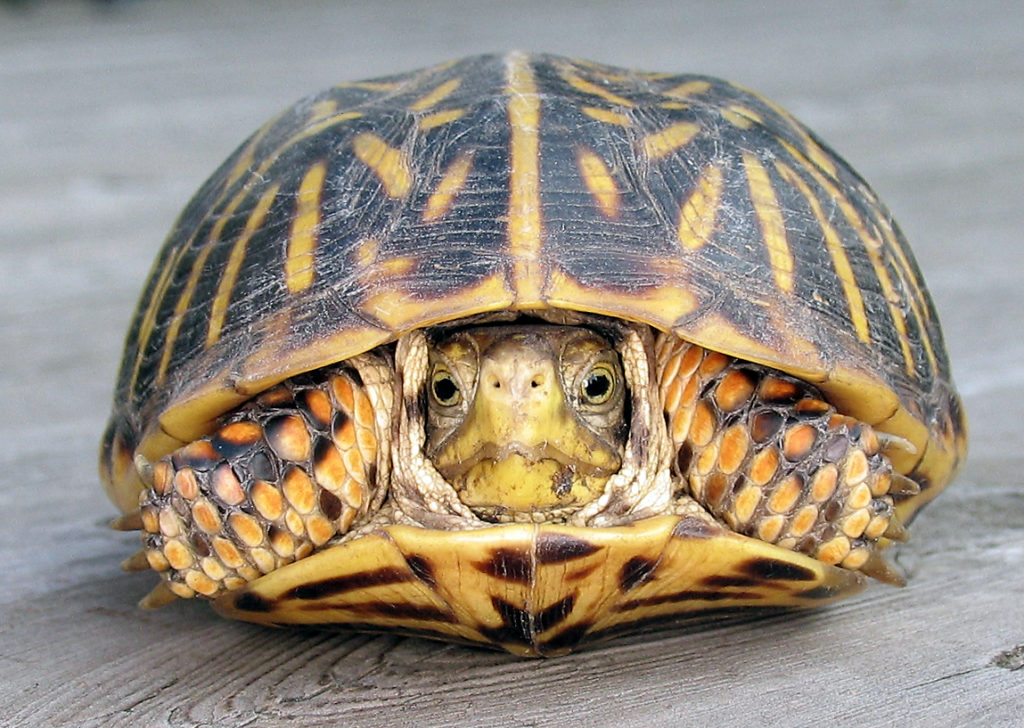 Front view of a female box turtle with her head pulled mostly inside the shell.