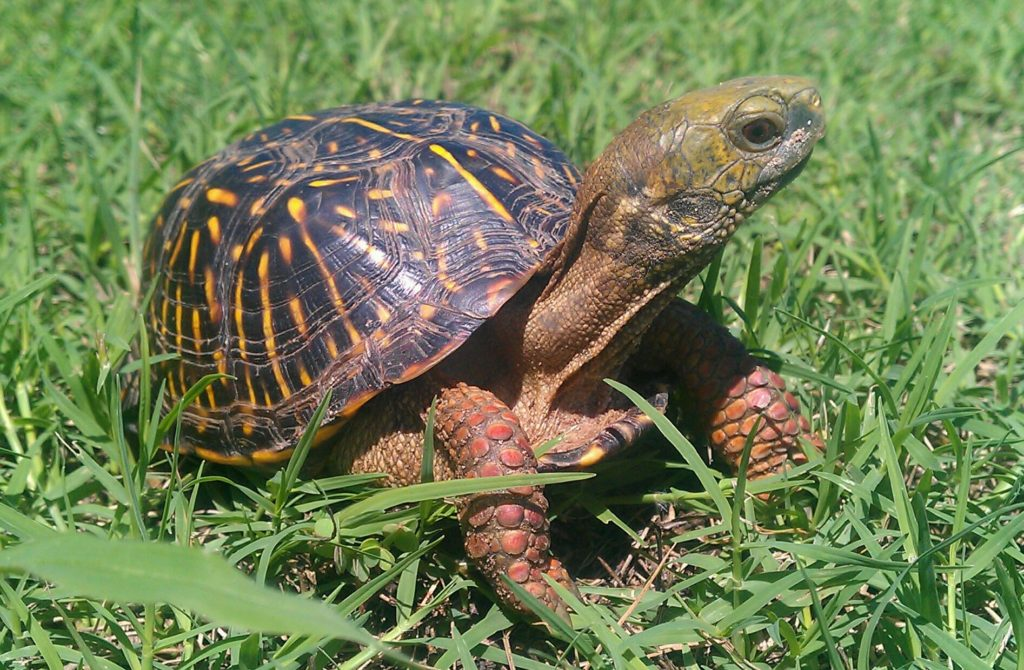 Female box turtle with neck extended out of her shell.