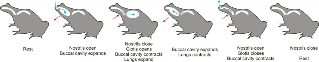 How buccal pumping works. (Mokele / Wiki; cc by-sa 3.0)