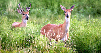 Image of a male and a female White-tailed Deer.