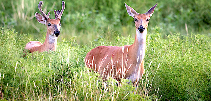 All about White-tailed Deer