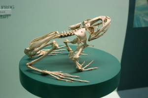 Frog skeleton shown in sitting position on a green surface for display.