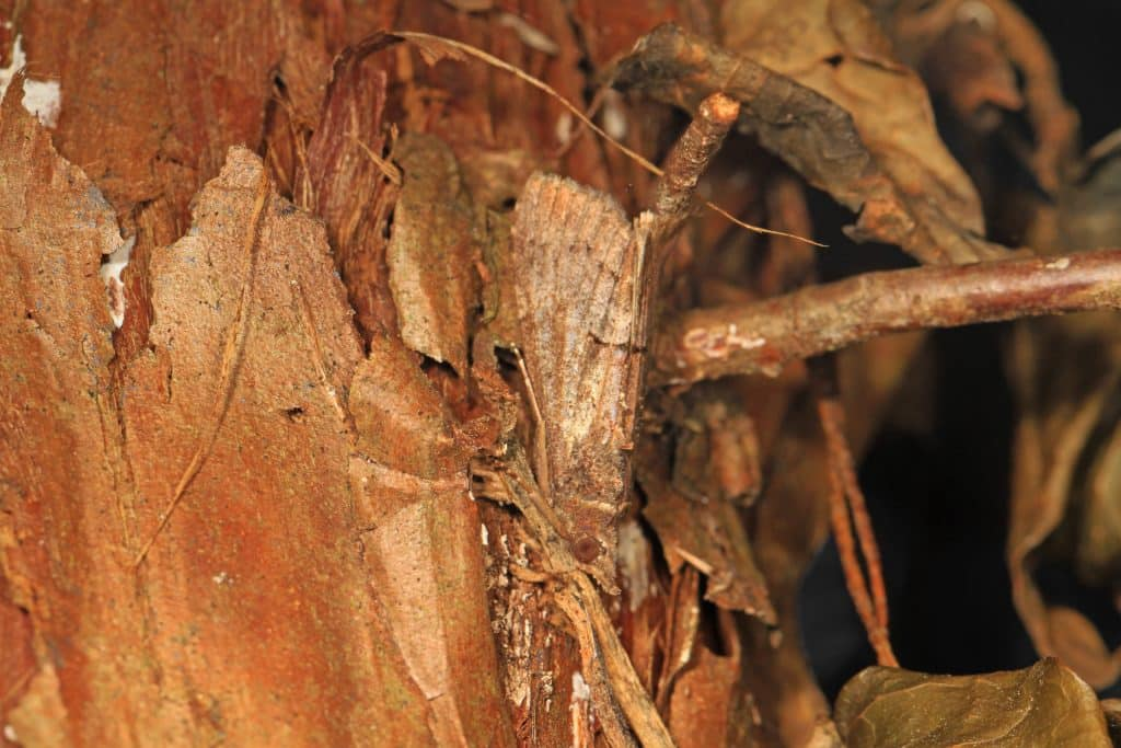 Brown moth well camouflaged by the tree trunk it is clinging to.