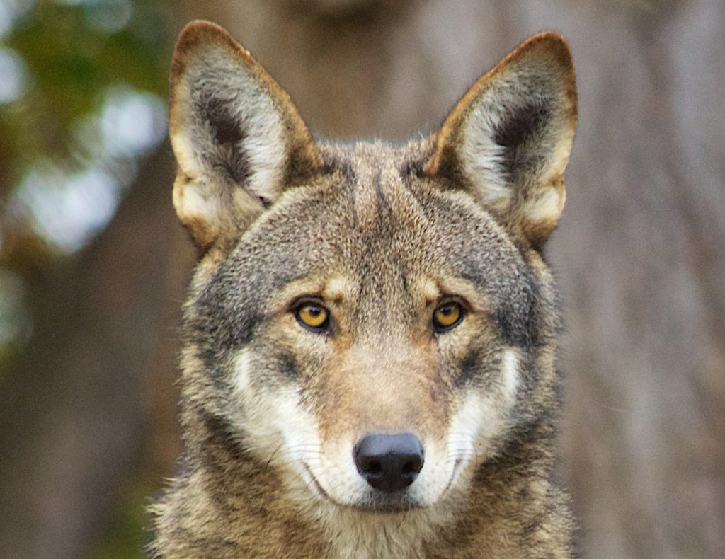 Captive Red Wolf.
