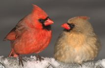#Image of a pair of Northern Cardinals facing each other, male on the left and female on the right.