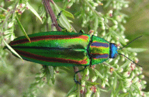Beetle, Chrysochroa fulgidissima, which has metallic colors of red, blue, green.