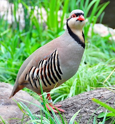 Chukar Partridge, Alectoris chukar, one of the birds in the 12 days song.