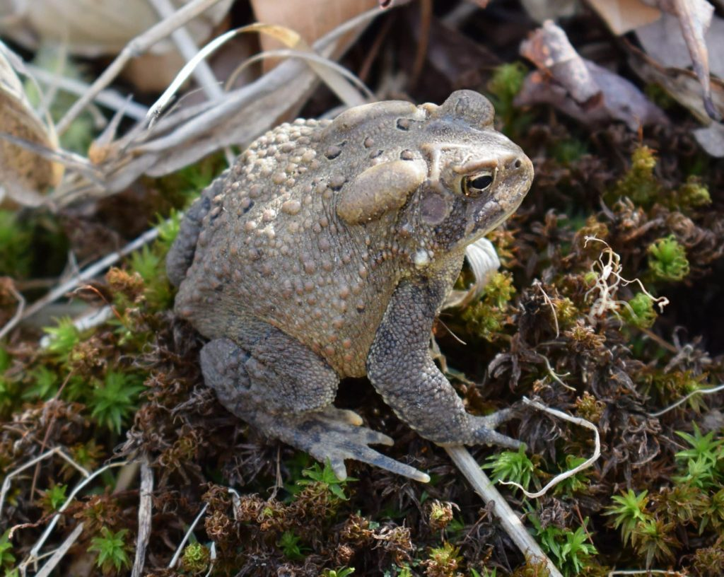 Common Toad, Bufo bufo, sitting on it's haunches, showing its lumpy body and poison gland.