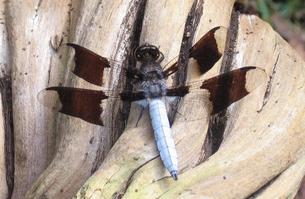 Male Common Whitetail Dragonfly, Plathemis lydia, which has a pale body and translucent wings with a single wide, brown verticle stripe on each.