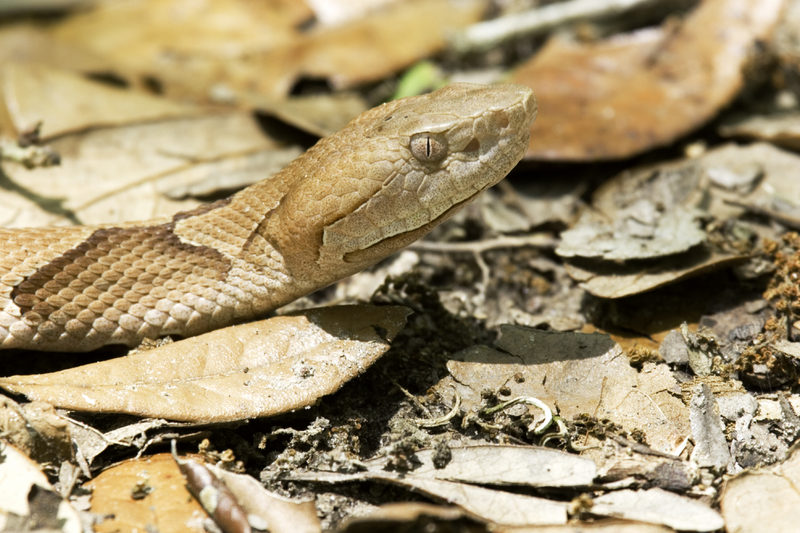 Side view of a Copperhead snake showing an eye and the pit on its face.