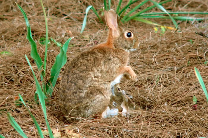 Cottontail Mother feeding her kits. (Geoff Chandler / DCResource; cc by 2.0)
