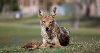 Coyote lying on the grass in a park, with houses in the background. It looks relaxed.
