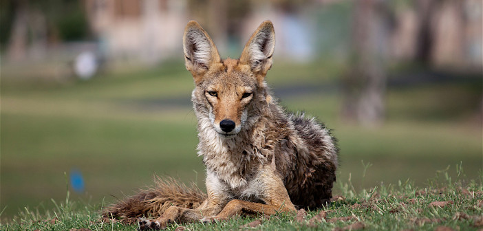 All about Coyotes, the new urban dogs