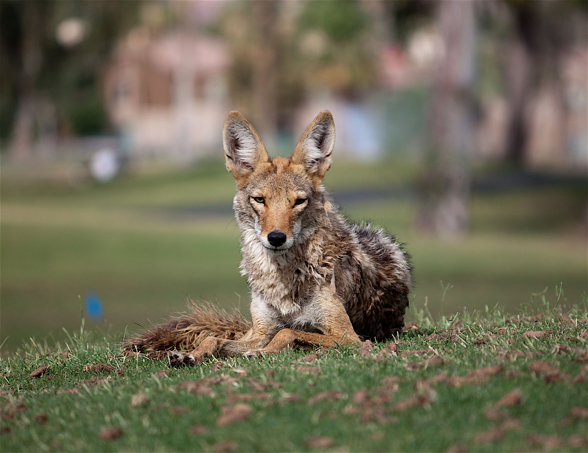 All About The Coyote Welcome Wildlife