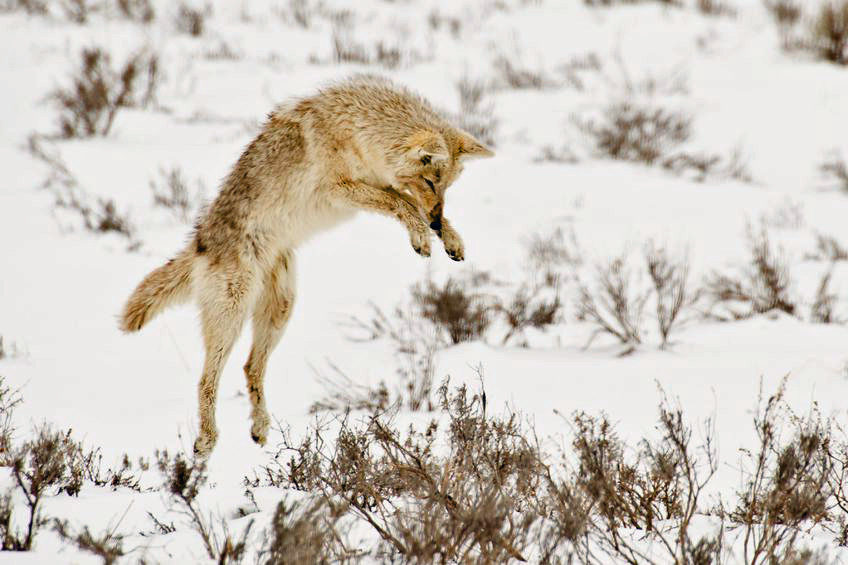 #Coyote in snowy field pouncing to catch prey.