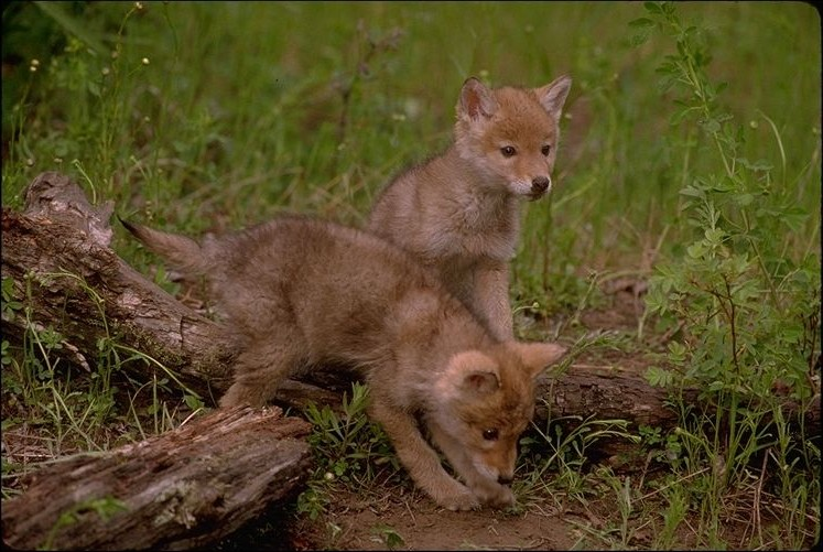 Two very young Coyote pups standing together.