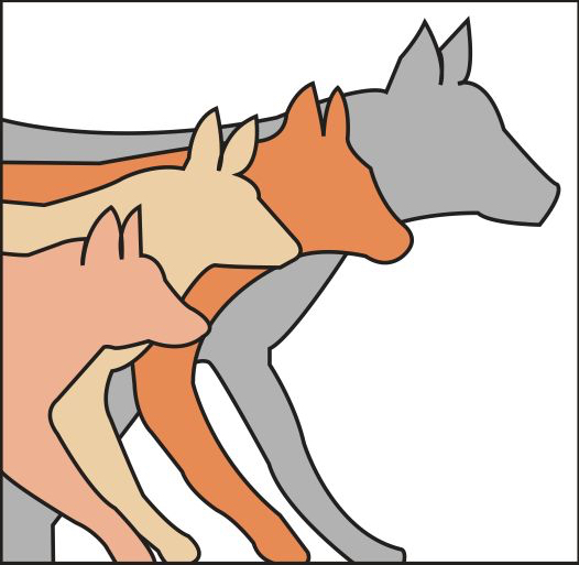 Drawing of a Red Fox, Coyote, Red Wolf and Gray Wolf comparing them side by side.